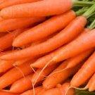 HEIRLOOM NON GMO Nantes Scarlet Carrot 50 seeds