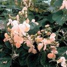 HEIRLOOM NON GMO Sunset Runner Bean 25 seeds
