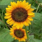 HEIRLOOM NON GMO Dwarf Edible Sunflower25 seeds
