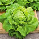 HEIRLOOM NON GMO Butter-crunch Lettuce 2000 seeds USA SELLER