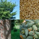 HEIRLOOM NON GMO Chinese White Pine (Pine Nuts) 10 seeds USA SELLER