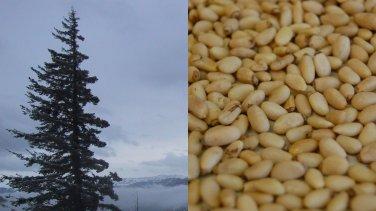 HEIRLOOM NON GMO Siberian Pine (Pine Nuts) 10 seeds USA SELLER