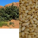 HEIRLOOM NON GMO Chilgoza Desert Pine (Pine Nuts) 10 seeds USA SELLER