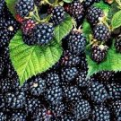 HEIRLOOM NON GMO Thornless Blackberry 50 seeds