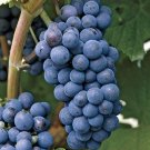 HEIRLOOM NON GMO Concord Grape 10 seeds