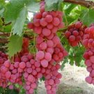 HEIRLOOM NON GMO Red Globe Grape 10 seeds