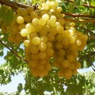 HEIRLOOM NON GMO Golden Gaza Grape 10 seeds