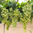 HEIRLOOM NON GMO Green Grape 10 seeds