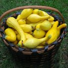 HEIRLOOM NON GMO Crookneck-Early Golden Summer Squash 15 seeds