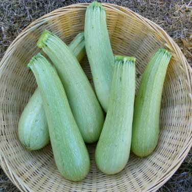HEIRLOOM NON GMO Lebanese White Bush Marrow Squash 15 seeds
