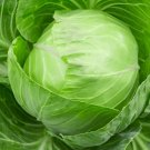 HEIRLOOM NON GMO Early Jersey Wakefield Cabbage 100 seeds