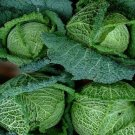 HEIRLOOM NON GMO Glory of Enkhuizen Cabbage 100 seeds