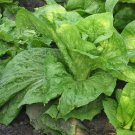 "HEIRLOOM NON GMO Grumolo Biondo ""Golden"" Chicory100 seeds"