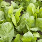 HEIRLOOM NON GMO Sugar Loaf Chicory 100 seeds