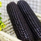 HEIRLOOM NON GMO Black Incan Corn 25 seeds