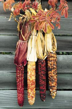 HEIRLOOM NON GMO Cherokee Long Ear Popcorn 25 seeds