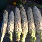 HEIRLOOM NON GMO Country Sweet Gentlemen's Corn 25 seeds