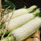 HEIRLOOM NON GMO Dakota Ivory Corn 25 seeds