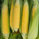 HEIRLOOM NON GMO Golden Bantam Sweet Corn 25 seeds