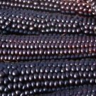 HEIRLOOM NON GMO Huarute Azul Michoacan Corn 25 seeds