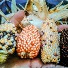 HEIRLOOM NON GMO Indian Berries Popcorn 25 seeds