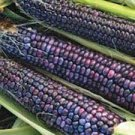 HEIRLOOM NON GMO Papa's Blue Corn 25 seeds