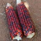 HEIRLOOM NON GMO Bloody Butcher Corn 25 seeds