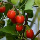 HEIRLOOM NON GMO Goyo Kumba Eggplant 25 seeds