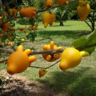 HEIRLOOM NON GMO Nipple Fruit Eggplant 25 seeds