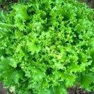 HEIRLOOM NON GMO Riccia Cuor D'Oro Endive 25 seeds