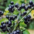 HEIRLOOM NON GMO Chichiquelite Huckleberry 25 seeds