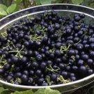 HEIRLOOM NON GMO Garden Huckleberry 25 seeds