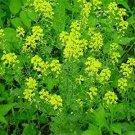 HEIRLOOM NON GMO Black Mustard 100 seeds