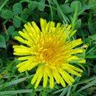 HEIRLOOM NON GMO French Dandelion 100 seeds