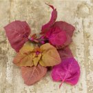 HEIRLOOM NON GMO Orach, Red 100 seeds