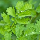 HEIRLOOM NON GMO Salad Burnet 100 seeds