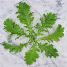 Heirloom NON-GMO Sawtooth Mustard Greens 100 seeds