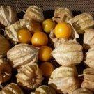 Cape Gooseberry 25 seeds