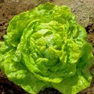 HEIRLOOM NON GMO Big Boston Lettuce 100 seeds