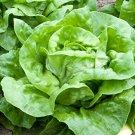 HEIRLOOM NON GMO Buttercrunch Lettuce 100 seeds