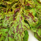 HEIRLOOM NON GMO Forellenschluss Lettuce 100 seeds