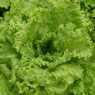 HEIRLOOM NON GMO Grandpa Admire's Lettuce 100 seeds