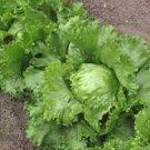 HEIRLOOM NON GMO Iceberg Lettuce 100 seeds