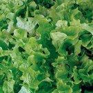 HEIRLOOM NON GMO Triumpheter or Glory of Voorburg Lettuce 100 seeds