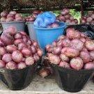 HEIRLOOM NON GMO Violet De Galmi Onion 50 seeds