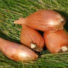 HEIRLOOM NON GMO I'itoi Shallot Onions 50 seeds