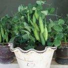 HEIRLOOM NON GMO Tom Thumb Garden Pea 25 seeds
