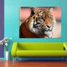 Tiger Wild Animal Cat Orange Fur 47x35 Print Poster