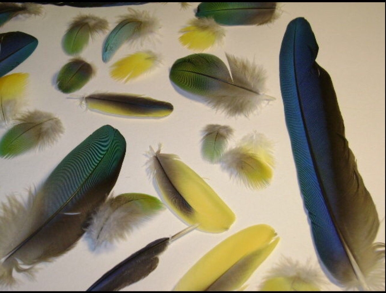 Natural macaw feathers for crafts for Natural feathers for crafts
