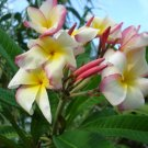 BRANDI'S SUNRISE PLUMERIA CUTTING